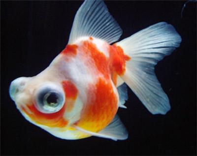 出目金 : 【伝統文化】金魚の種...